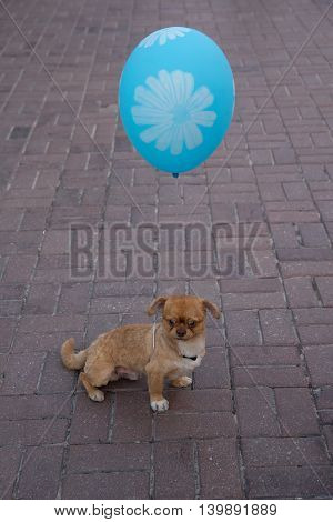 Little dog with a balloon on a city street. Pets