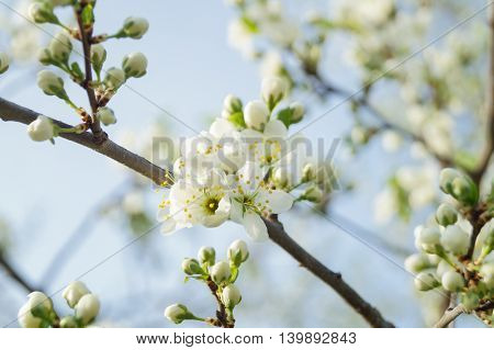apple blossoms in spring blue sky background
