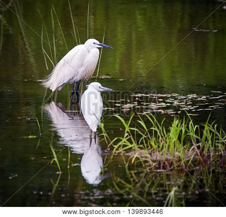 Great Egrets In Swamp
