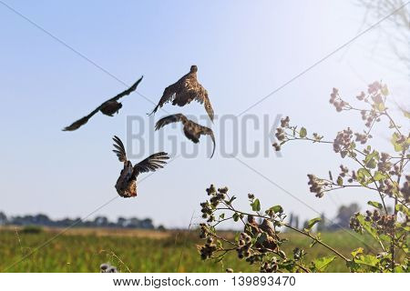 flock of gray partridges flies from under the feet with sunny hotspot, unexpected moment Hunter