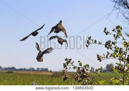 flock of gray partridges flies from under the feet, unexpected moment Hunter