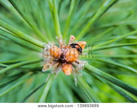 Fir branch with drops of tree resin and beetle.
