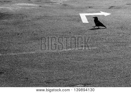 black bird is walking by an asphalted area with a white pointer back / back to nature