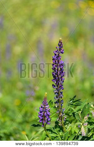 Close up of lupine plant flowering with colorful blurred background