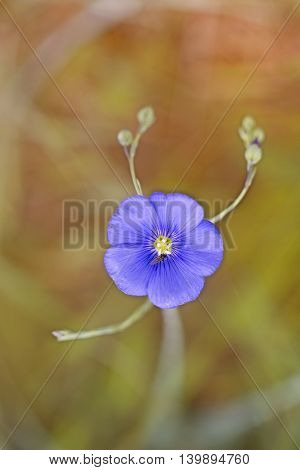 flowering flax blue and little fly colorful summer background