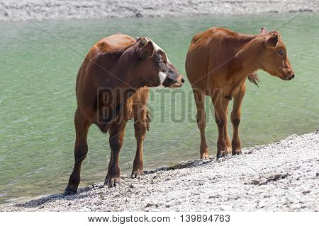 young bulls calves cute at the watering in the lake