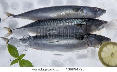 Fresh mackerels on ice cubes with lemon and basil