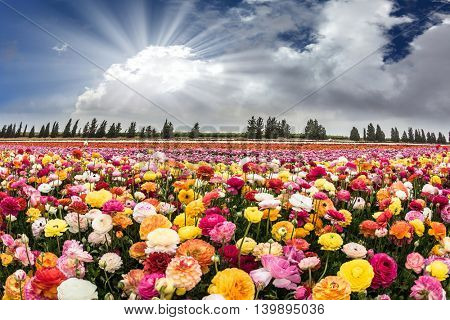 The sun's rays shine from cumulus clouds. Flower Israeli kibbutz near the Gaza Strip
