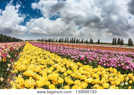 Picturesque field of buttercups growing strips. Spring Flowers. Israeli kibbutz