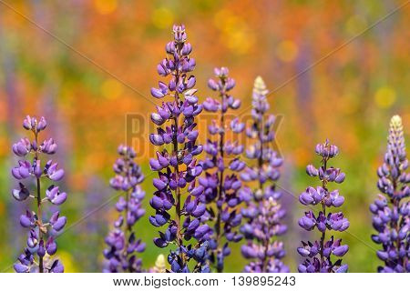 Close up of lupine flowering with colorful blurred background
