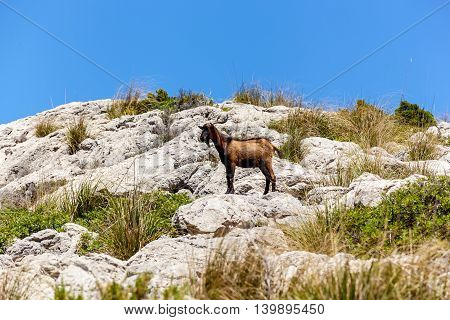 Goat standing still on the rocky cliff in the grass