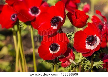 cluster of bright red poppy anemone flowers in garden