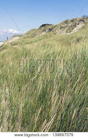Dune grasses at the seashore against a clear blue sky