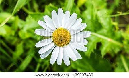 Daisy flower growing on meadow in the green grass. White petals of wild daisies close. Medicinal flowers of wild nature. Chamomile macro.