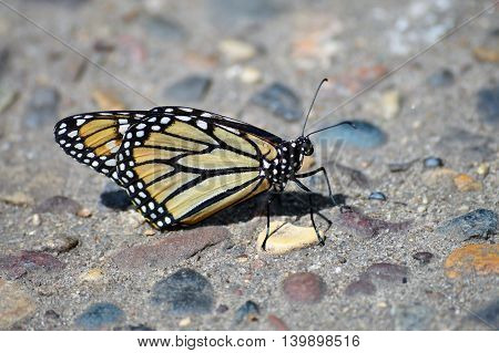 A Monarch butterfly on the rocky path