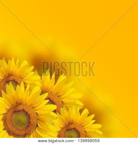 Close up fresh sunflower on yellow background