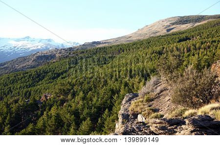 The slope of the mountain covered with pine trees. Sierra Nevada National Park. Nature Spain.