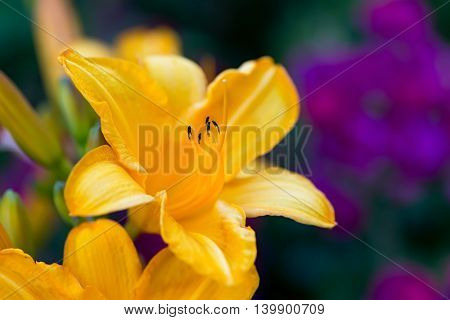 Yellow daylily flower on a blurred garden  background.  Selective focus