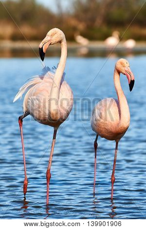Beautiful pair of flamingos walking in shallow water