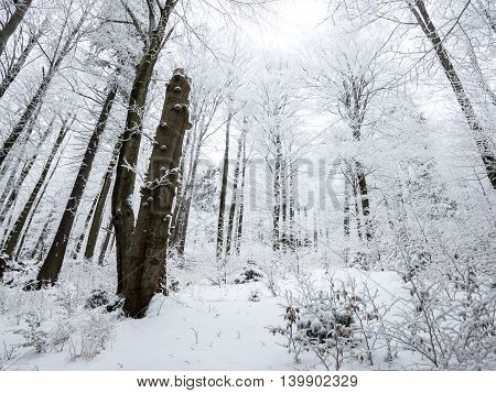 Winter trees covered by snow with white sky