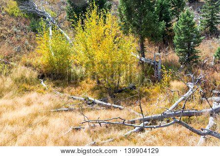 Aspen Trees View