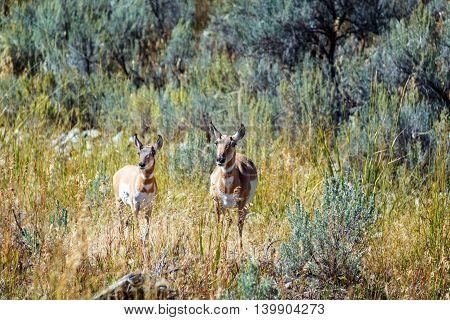 Pair Of Pronghorn Antelope