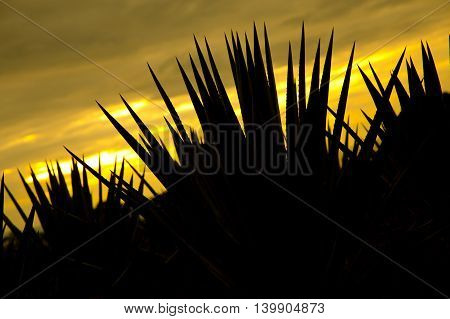 Agave tequila landscape back light sunset to Guadalajara Jalisco Mexico.