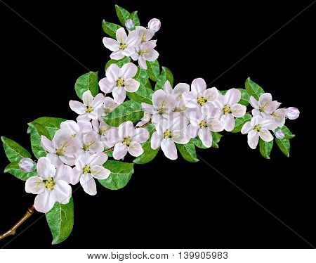 White apple flowers branch isolated on black background