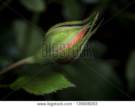 indoor flower small red rose on a dark background