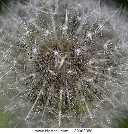 dandelion close-up background.  Dandelion,macro photo from the nature