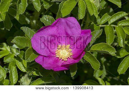WIld rose, briar, open flower in green leaves
