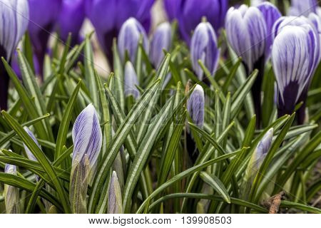 purple crocus in the green leaves macro