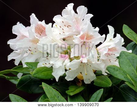 White Azalea in South Bethany Delaware 6 May 2016 Usa