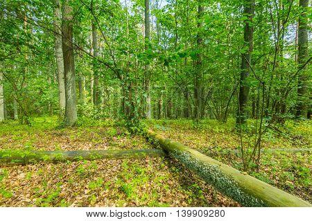 Green European Wild Forest In Summer.