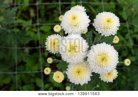 Autumn Flower, White Chrysanthemum Flower In The Garden