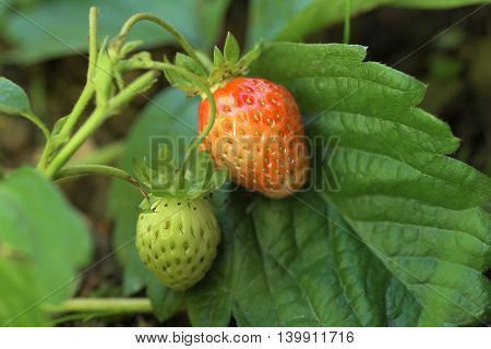 Green and red strawberry on green leaf in summer time