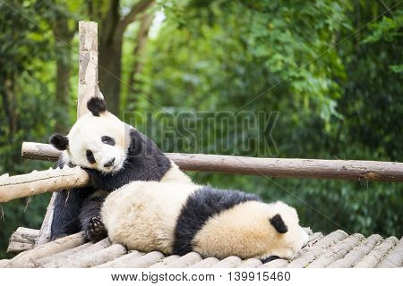 two giant pandas bear sleeping in the zoo