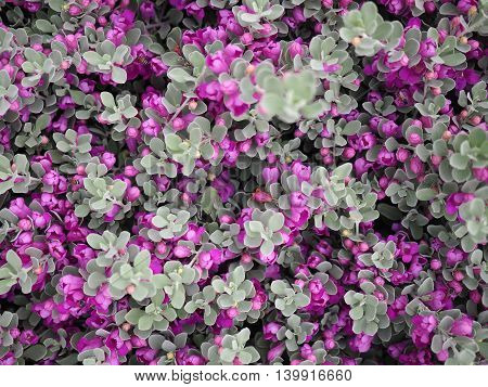 Close up of violet flower and leaf in garden.