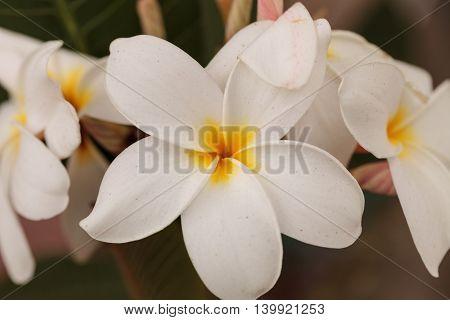 White Hawaiian plumeria hybrid, frangipani blooms in summer in Hawaii