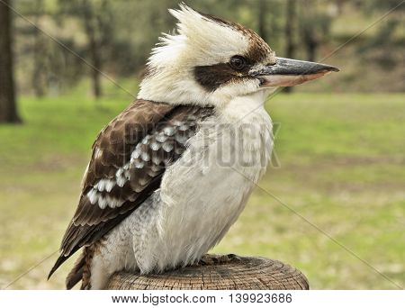 kookaburra on a post in a national park Australia