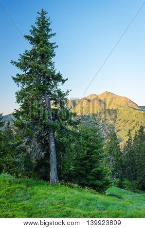 Spruce tree on a hillside near a pine forest. Summer landscape in the mountains. Morning light. Carpathians, Ukraine, Europe