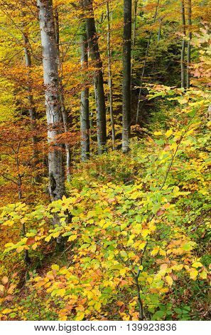 Autumn in the beech forest. Seasonal landscape with colorful trees