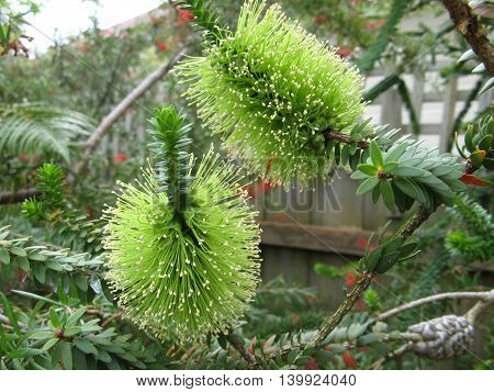 Green Banksia flower Australian Native Flower in garden