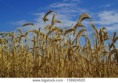 Ears of ripe wheat on a background of blue sky (summer landscape)