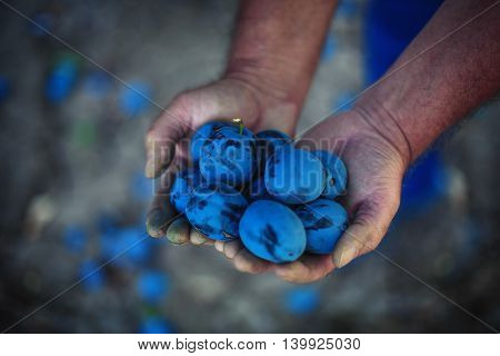 Plum Harvest. Farmers Hands With Freshly Harvested Plums