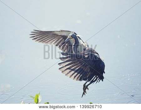 Tricolored Heron in Flight In Florida Wetlands
