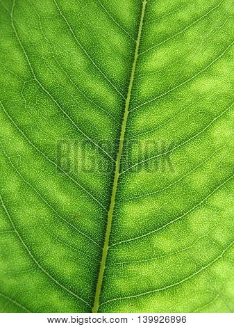 Australian eucalyptus green leaf detail with veins