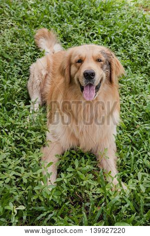 The Golden Retriever smiling lay on a grass