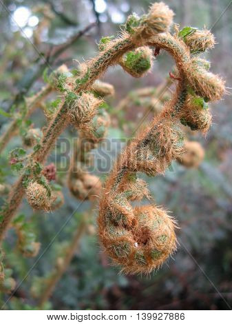 Australian native hook fern new opening fronds