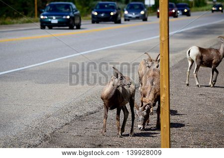 mountain goat on street in the park